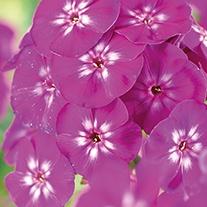 Phlox paniculata Adessa Purple Star