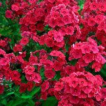 Phlox paniculata Red Riding Hood
