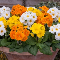 Polyanthus Spring Fever Mixed F1