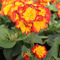 Polyanthus Showstopper Fire Dragon F1