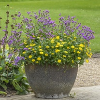 Powerdaisy Sunny and Verbena rigida Collection