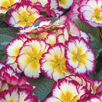 Primula Scentsation Raspberry Ripple F1 Plugs