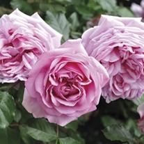 Rose Pompadour ®