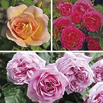 Rose Floribunda collection