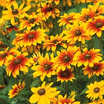 Rudbeckia hirta Toto Series Mixed