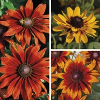 Rudbeckia Smiley Collection