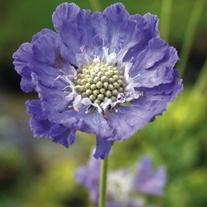 Scabious caucasia Perfecta Blue