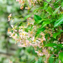 Trachelospermum asiaticum Pink Showers