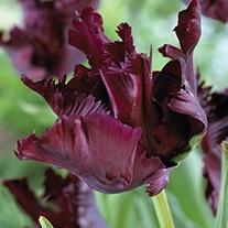 Tulipa 'Black Parrot' Bulbs