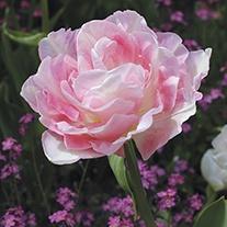 Tulipa 'Angelique'