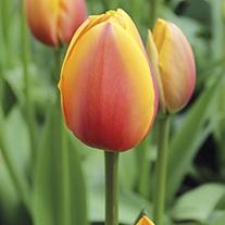 Tulipa 'World Peace'