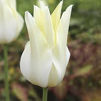 Tulip White Triumphator Bulbs