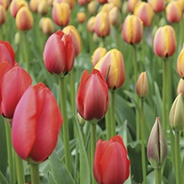 Tulip World Series Collection