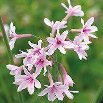 Tulbaghia Purple Eye AGM
