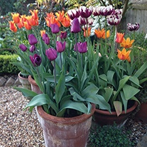 Tulip Pot & Container Collection