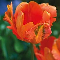 Tulip 'Orange Favourite'