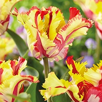 Tulipa' Flaming Parrot'