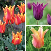 Tulip Lily Flowered Collection