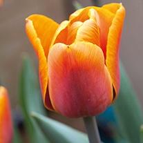 Tulip 'Brown Sugar'