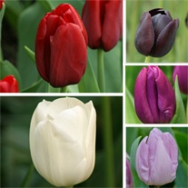 Tulip Bumper Border Mix