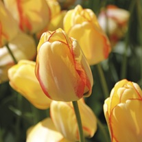 Tulip Beauty of Spring Bulbs