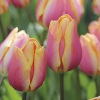 Tulip Dragon King Bulbs
