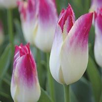 Tulip Whispering Dream Bulbs