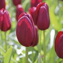 Tulip National Velvet Bulbs