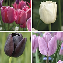Tulip Gardeners' World Mixed Bulbs