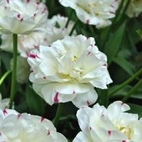 Tulip Danceline