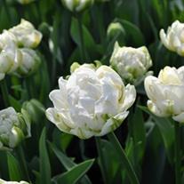 Tulip White Mountain