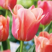 Tulip Stunning Star
