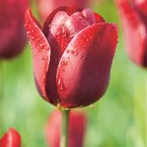 Tulip Jan Reus bulbs