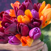 Tulip Gardeners' World Mix