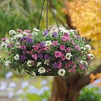 Verbena Enchantment Hanging Basket Collection