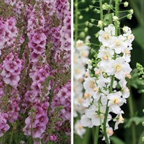 Verbascum Collection