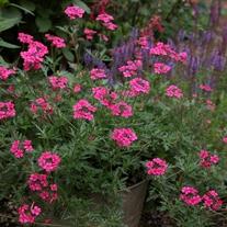 Verbena Sissinghurt Flower Plants