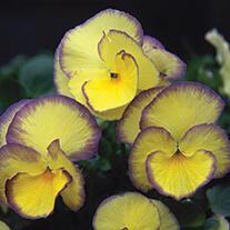 Viola Collection