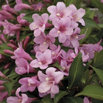 Weigela Pink Poppet Potted Plant