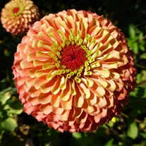 Zinnia Queeny Lime Orange