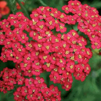 Achillea millefolium Cherry Queen Plant
