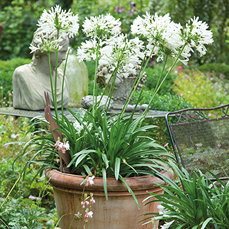 Agapanthus White Umbrella