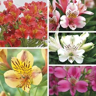Alstroemeria Majestic Collection