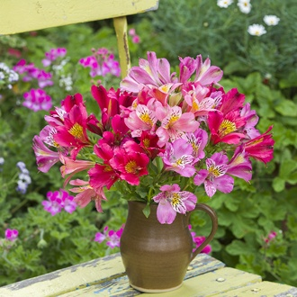Alstroemeria Summer Sorbet Collection