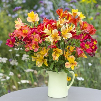 Alstroemeria Summer Blaze Collection