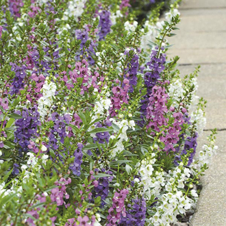 Angelonia Serena Series Mixed