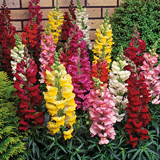 Antirrhinum Sonnet Mixed F1