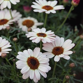 Argyranthemum Grandaisy Ivory White