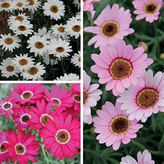 Argyranthemum Grandaisy Collection