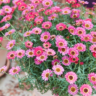 Argyranthemum Grandaisy Orange Red